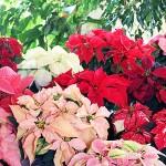 Разноцветные рождественские звезды